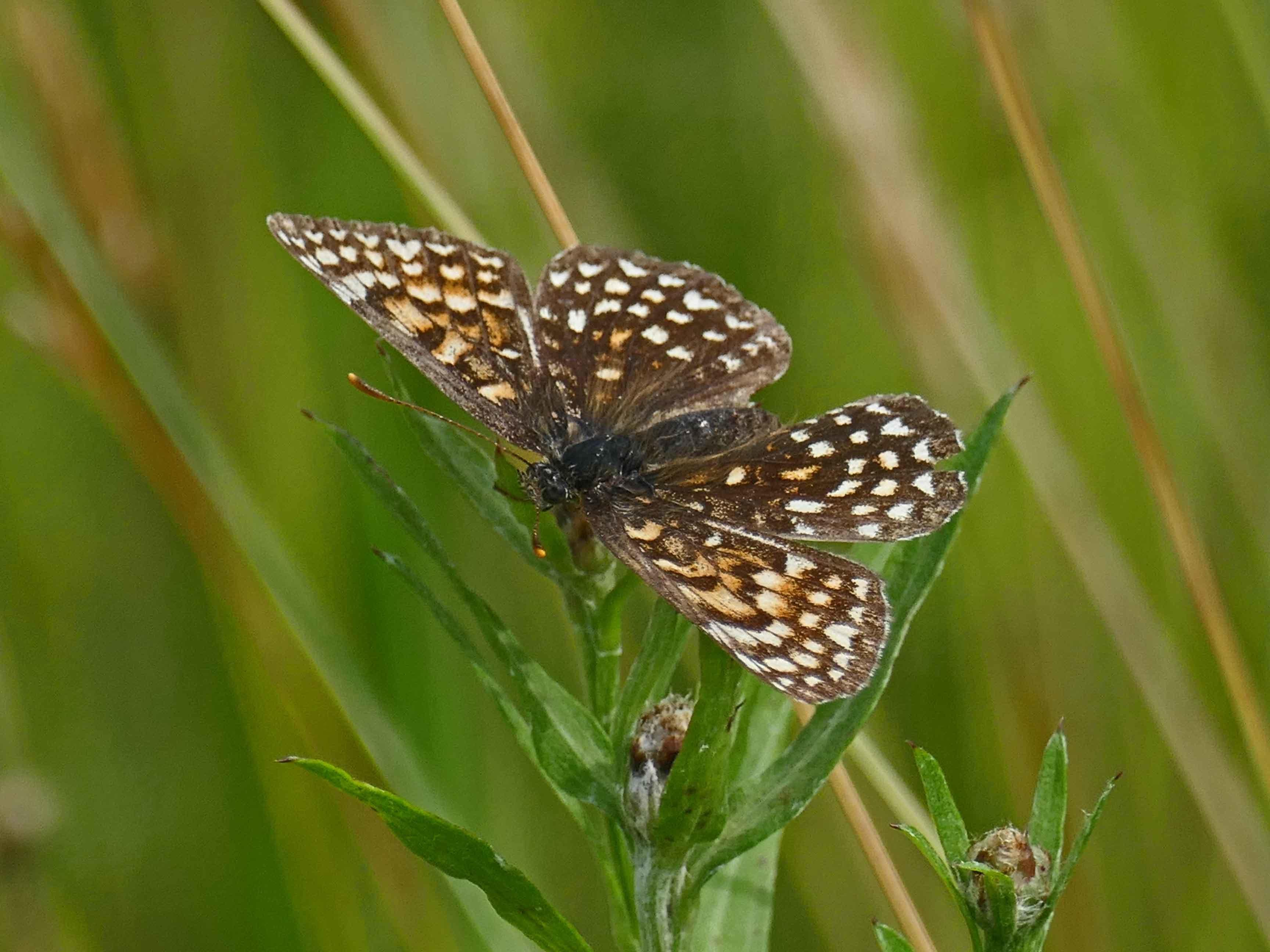 False Heath Fritillary