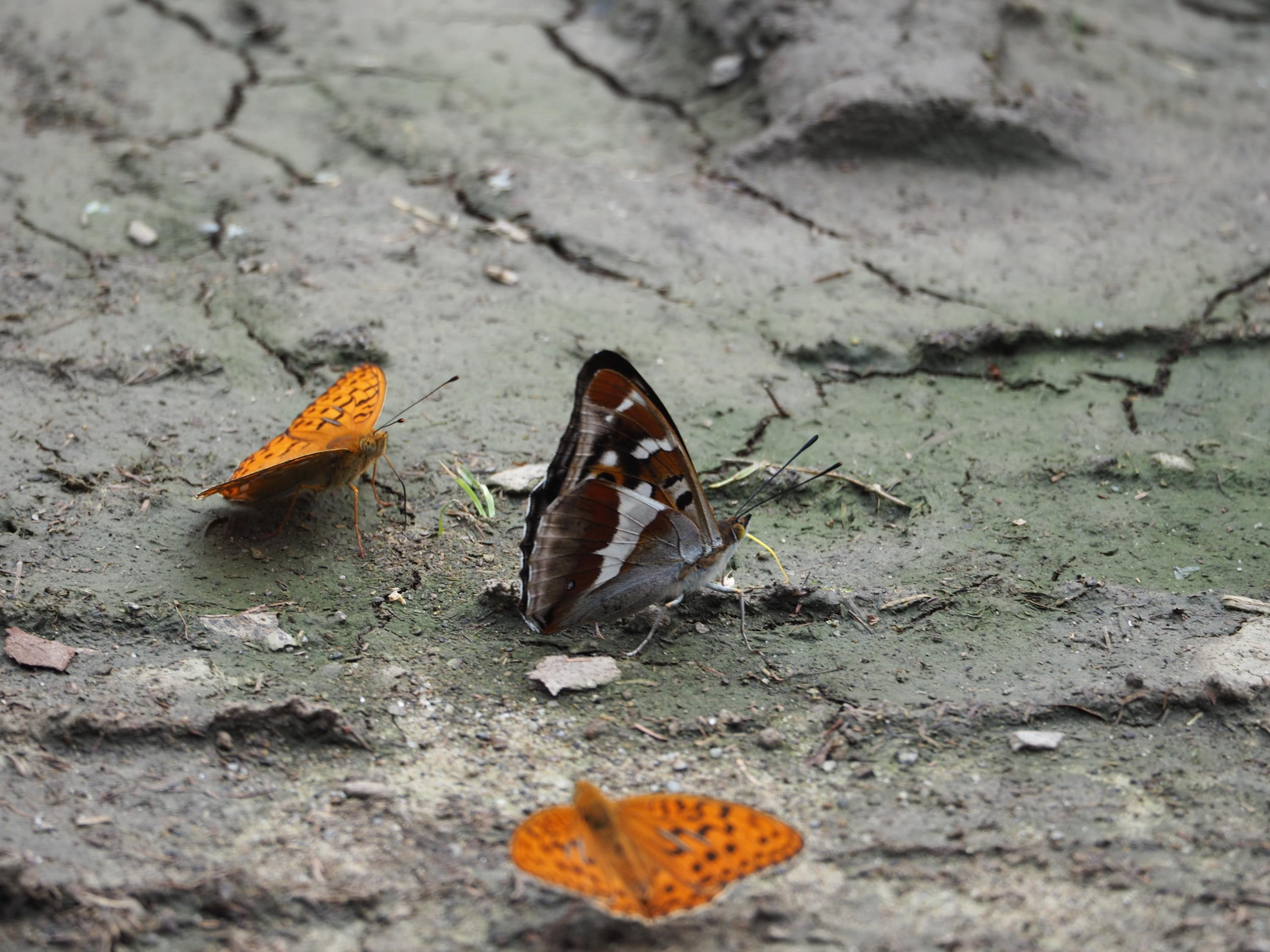 Purple Emperor and Fritillary butterflies