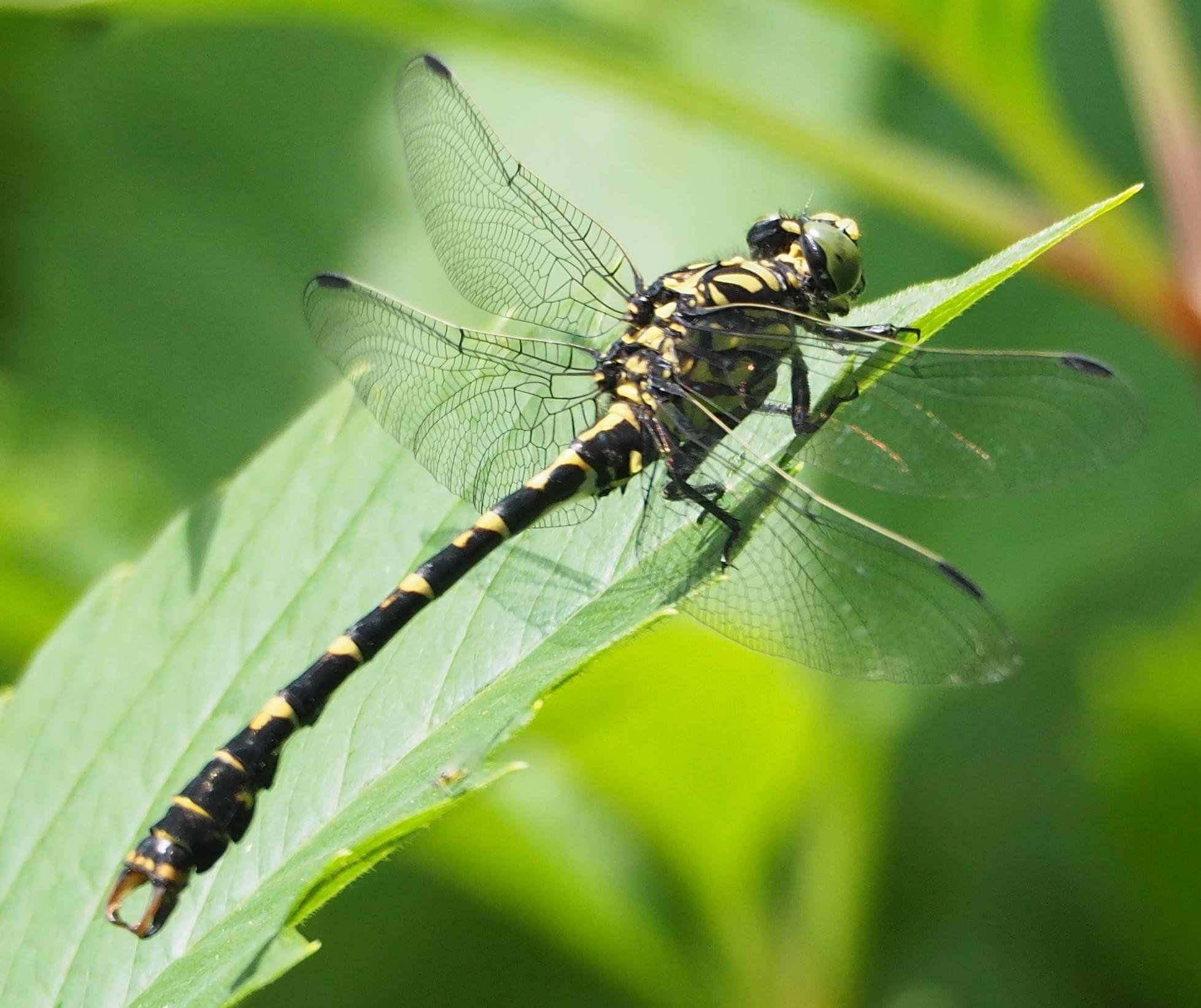 Gomphus dragonfly