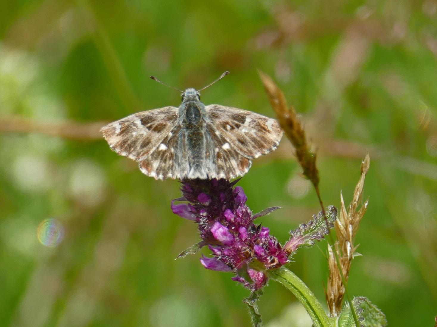 Tufted Marbled Skipper