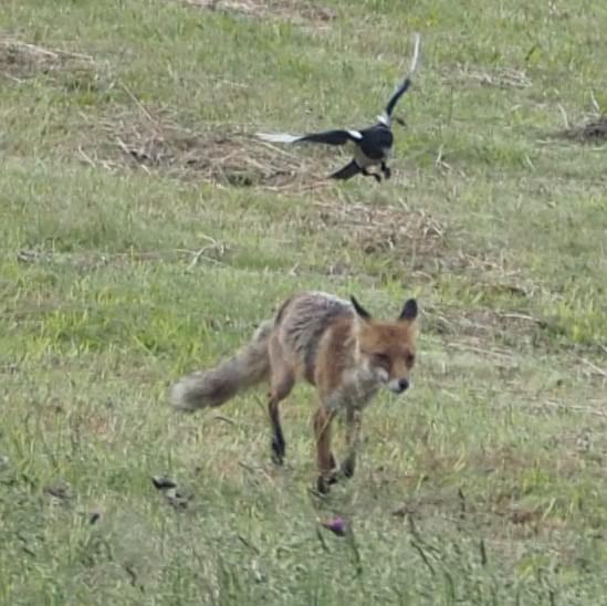 Magpie and fox