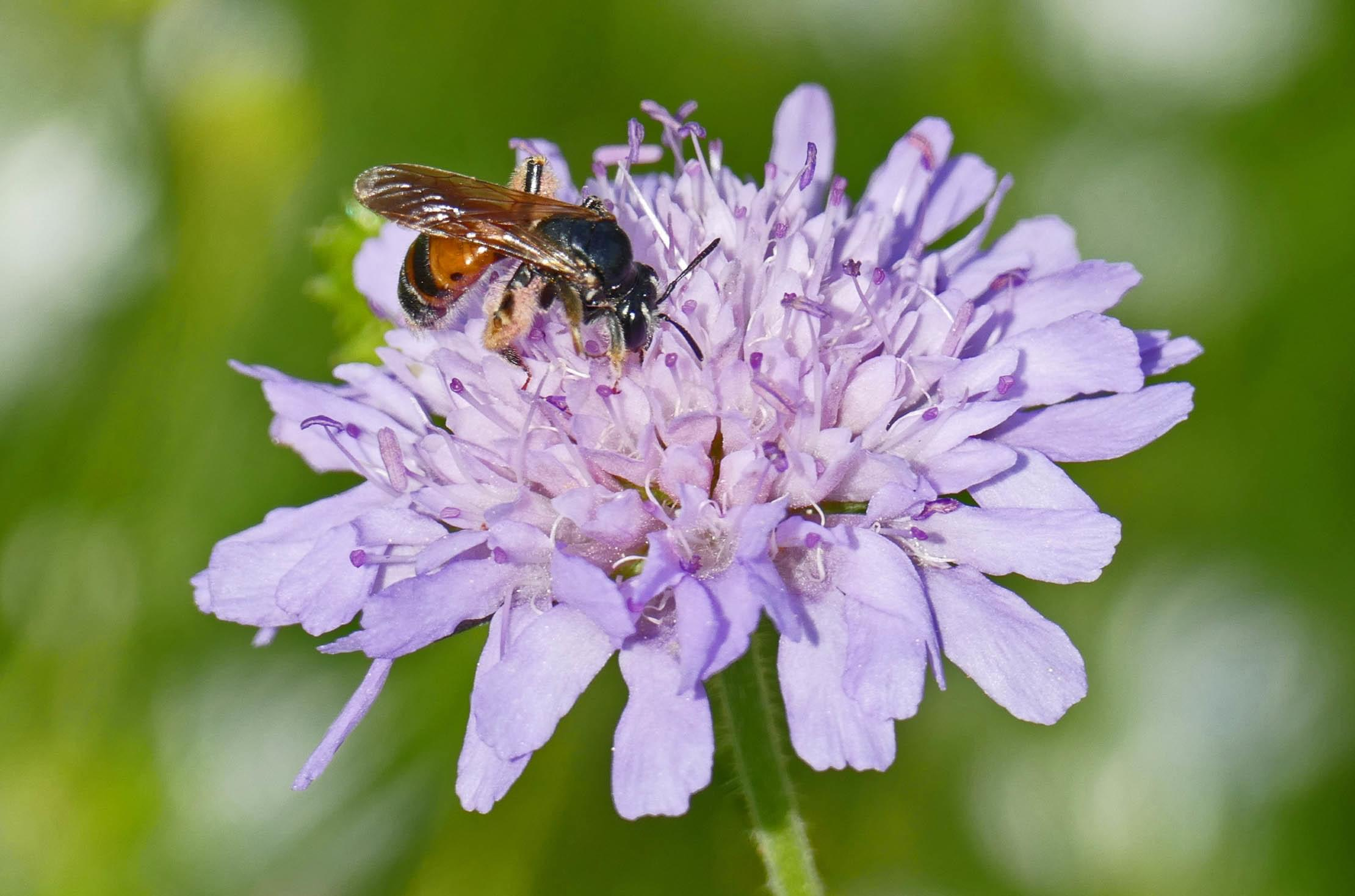 Large Scabious Mining Bee