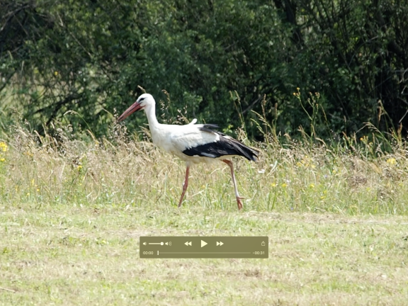 White Stork in Poland