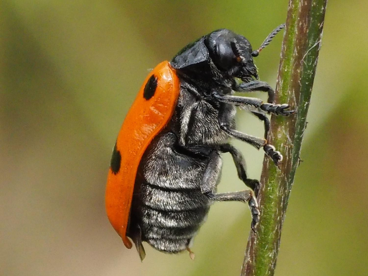 Four-spotted leaf beetle