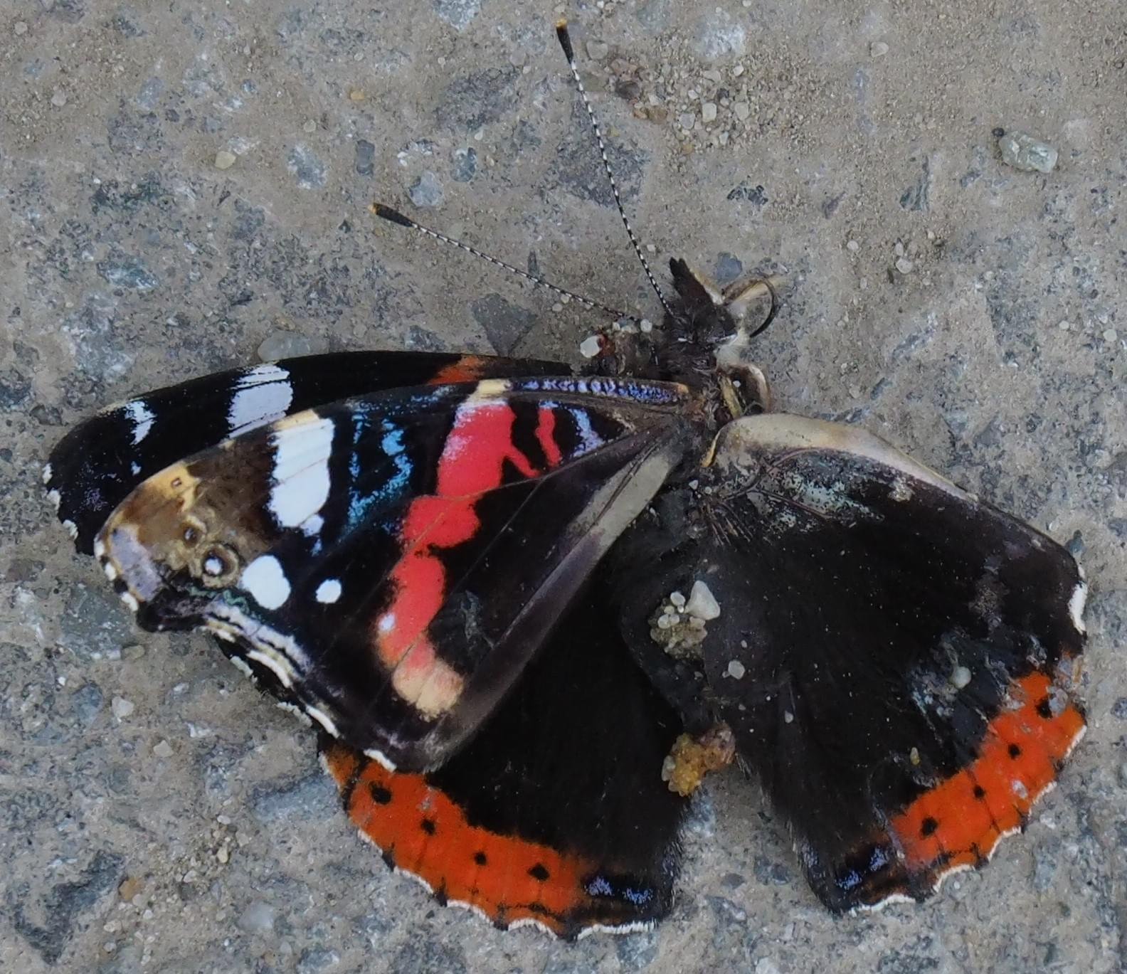 Marmalised red admiral